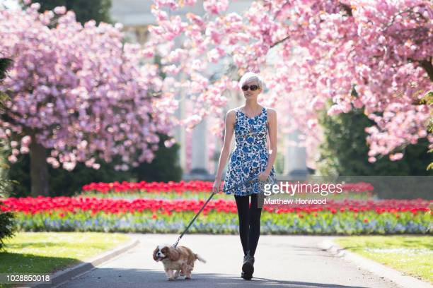 A woman walks a dog on a lead through Alexandra Gardens in Cathays Park near Cardiff University during springtime on May 04 2016 in Cardiff United...