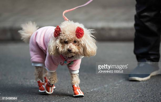 A woman walks her dog in downtown Shanghai on March 14 2016 China's leaders are meeting this week for the annual rubberstamp National People's...