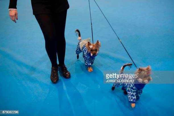A woman walks her dogs during the sixth edition of the Mi Mascota fair in Malaga on November 25 2017 / AFP PHOTO / JORGE GUERRERO