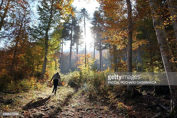 A woman walks into the Vizzavona forest by autumn season in Vivario French Mediterranean island of Corsica as she picks mushrooms on November 1 2015...