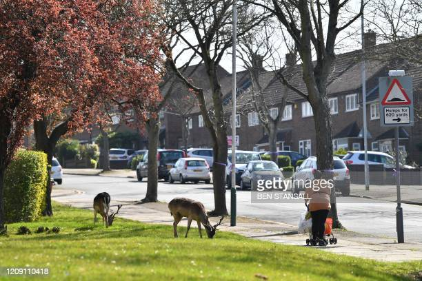 Woman walks past a herd of fallow deer grazing on the lawns of a housing estate in Harold Hill in east London on April 4 as nature takes advantage of...