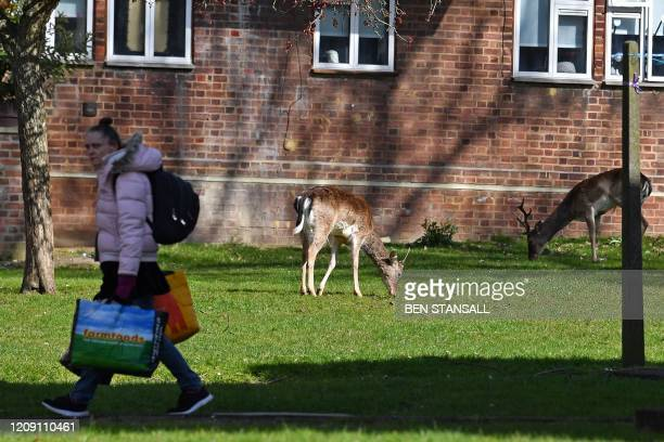 Woman walks past as a herd of fallow deer graze on the lawns in front of a housing estate in Harold Hill in east London on April 4 as nature takes...