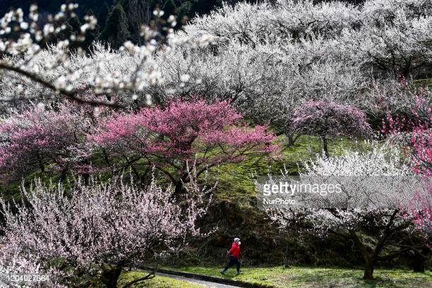 Woman walks past blossoms of a Japanese plum tree in Tokyo February 28, 2020.
