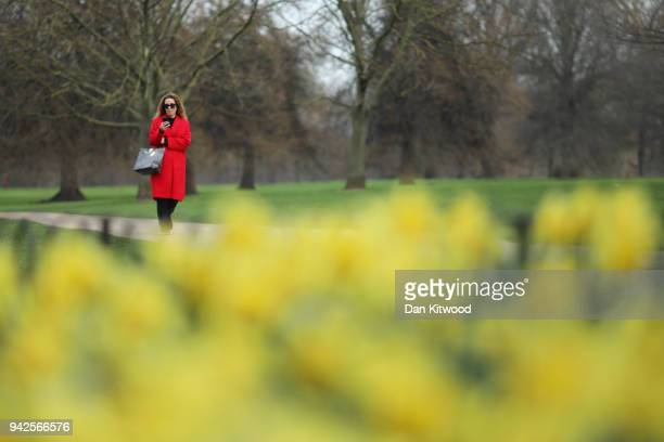 A woman walks past Daffodils in Hyde Park on April 6 2018 in London England According to the MET Office today is expected to be the warmest day of...
