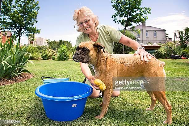 woman washing her boxer dog