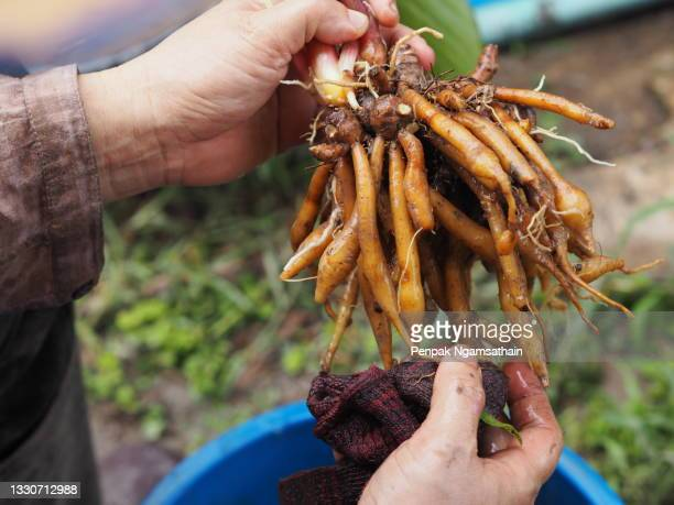 woman washing krachai, boesenbergia rotunda fingerroot, lesser galangal or chinese ginger, is a medicinal and culinary herb from china and southeast asia shape of the rhizome resembles fingers growing out of center piece. fingerroot is a kind of ginger, t - rotunda stock pictures, royalty-free photos & images