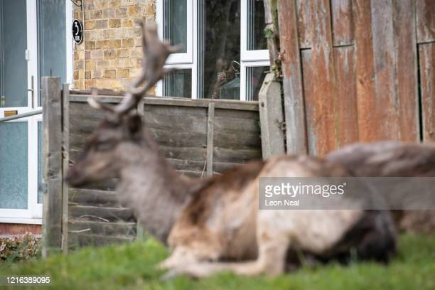 A woman watches the Fallow deer from Dagnam Park as they rest and graze on the grass outside homes on a housing estate in Harold Hill near Romford on...