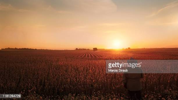 woman watching golden autumn sunrise at farm field - soybean harvest stock pictures, royalty-free photos & images