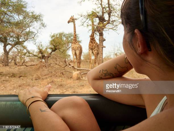 woman watching pair of giraffes  through car window, kruger national park, mpumalanga, south africa - safari stock pictures, royalty-free photos & images