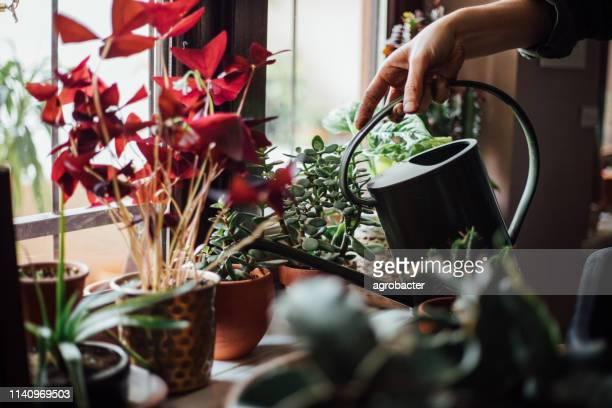 donna annaffiando fiori - flora foto e immagini stock