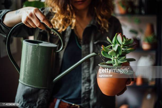 woman watering flowers - succulent stock pictures, royalty-free photos & images
