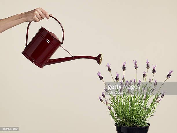 Woman watering lavendar plant with watering can