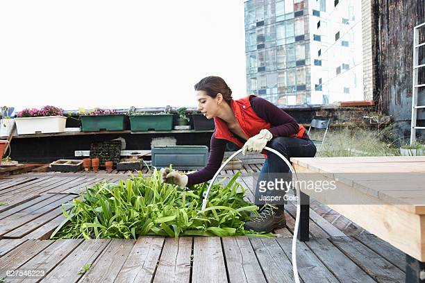 woman watering plants in urban rooftop garden - urban garden stock photos and pictures