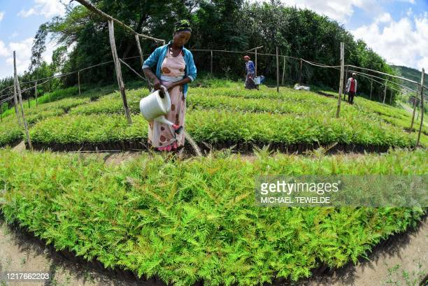 A woman waters seedlings at a nursery outside of Buee about 100km from Addis Ababa in southern Ethiopia on June 1 2020 ahead of World Environment Day