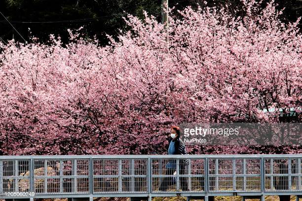 A woman wearing a face mask following an outbreak of the coronavirus is seen under a cherry blossom called 'Kanzakura' in Tokyo Japan March 4 2020