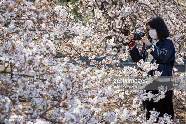 Woman wearing a face mask takes photos during the cherry blossom bloom on March 23, 2021 in Tokyo, Japan. On March 14, the Japan Meteorological...