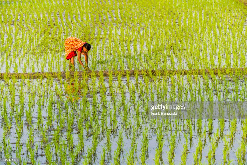 A woman, wearing a sari, is working on a rice field with... : News Photo