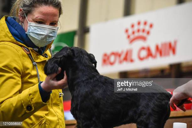 Woman wears a mask as she grooms a Miniature Schnauzer on day one of Crufts 2020 at the National Exhibition Centre on March 5, 2020 in Birmingham,...
