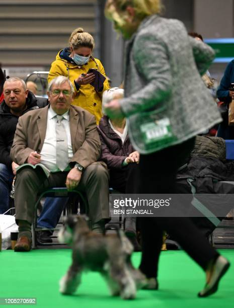Woman wears a surgical face protection mask as she watches Miniature Schnauzer dogs in the parade ring on the first day of the Crufts dog show at the...