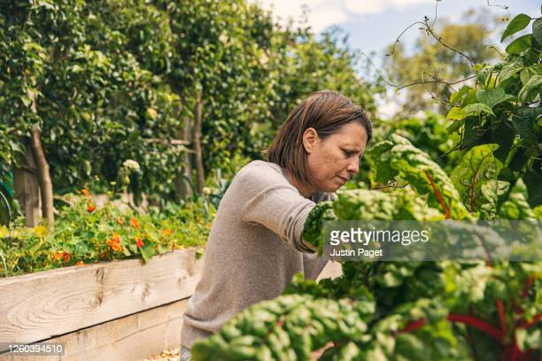 woman weeding her vegetable garden - vegetable stock pictures, royalty-free photos & images
