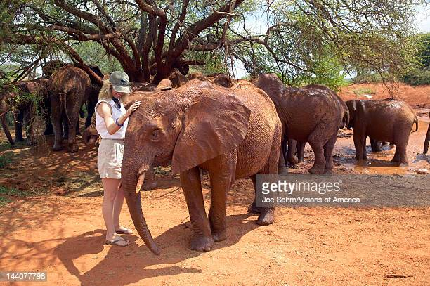 Woman with Adopted Baby African Elephants at the David Sheldrick Wildlife Trust in Tsavo national Park Kenya