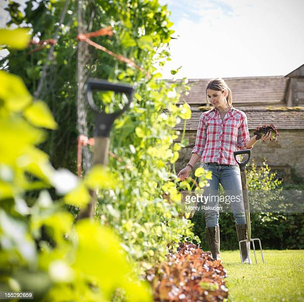 Woman with basket and fork picking organic  vegetables in garden with farm house in background