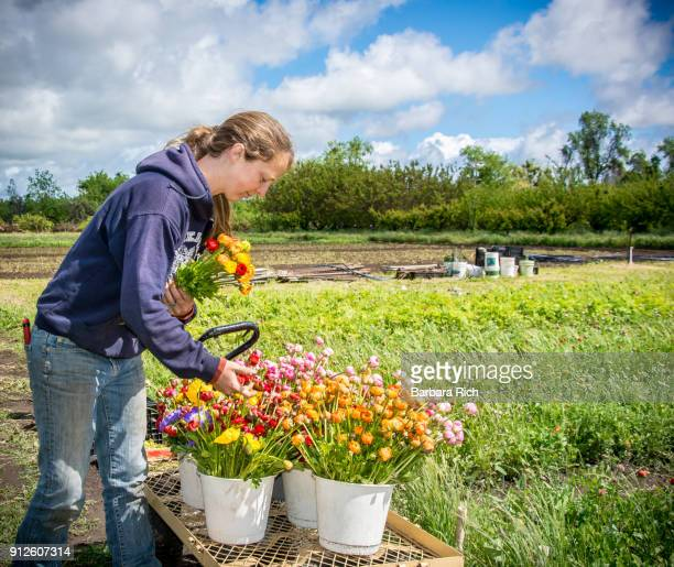 woman with buckets of fresh cut ranunculus flowers for market at organic flower farm - bend over woman stock pictures, royalty-free photos & images