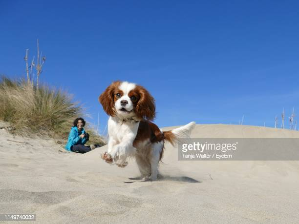 woman with dog sitting at beach against clear blue sky during sunny day - cavalier king charles spaniel stock pictures, royalty-free photos & images