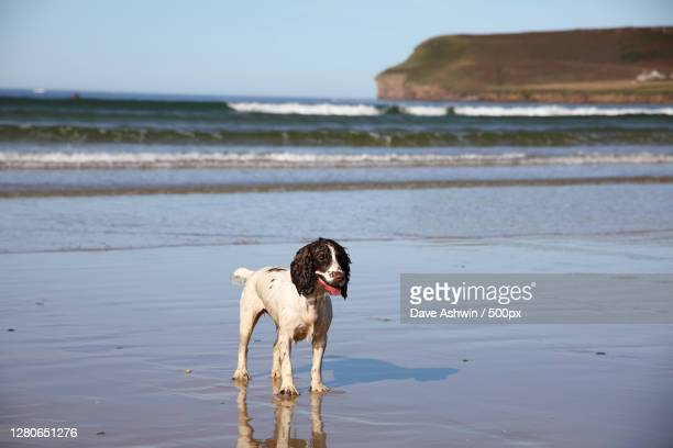 woman with dog standing on shore at beach,a,thurso kw xd,united kingdom,uk - dave ashwin stock pictures, royalty-free photos & images