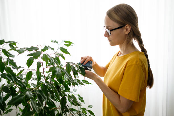 A woman with glasses or a Girl with a Damp Cloth in Her Hands Wipes and Cleans a Houseplant from dust, at home. The Gardener or Housekeeper Takes care of the Ficus Leaves. The concept of caring for flowers, cleaning the space in the house, real life.