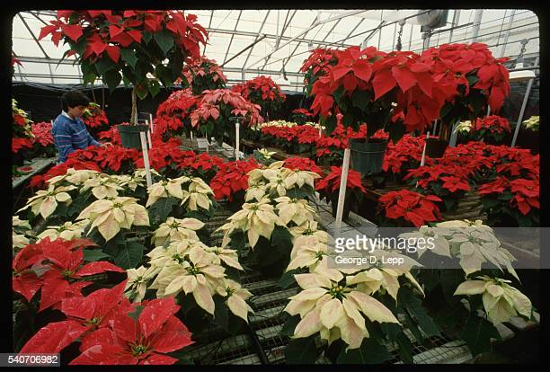Woman With Poinsettias in Greenhouse
