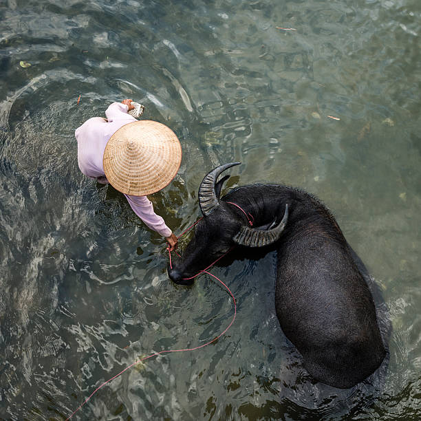 Woman with water buffalo in small river