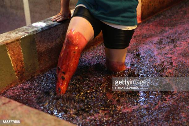 A woman worker steps barefoot through fermenting wine to stir the grape skins in large stone lagares at the Quinta do Noval winery on October 9 2016...