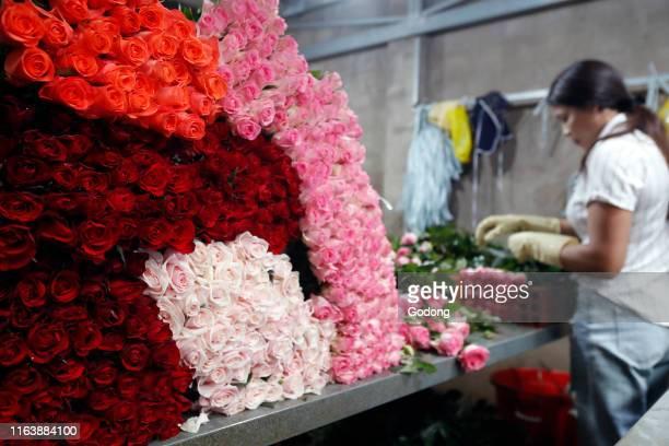Woman working in a flower factory Dalat Vietnam