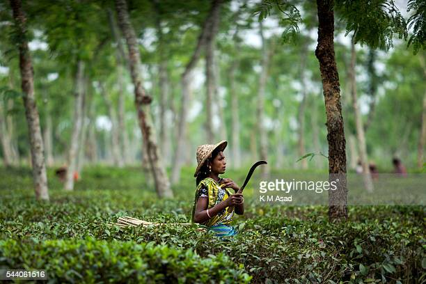 SRIMONGOL SYLHET DHAKA BANGLADESH Woman working in a tea garden Tea Plucking is a specialized skill Two leaves and a bud need to be plucked in order...