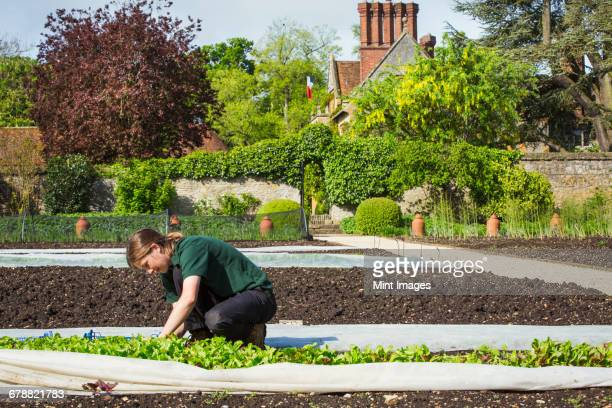 A woman working in a walled garden, harvesting vegetables from plants under horticultural fleece.