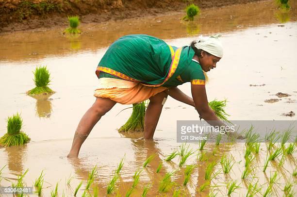 Woman working in paddy fields
