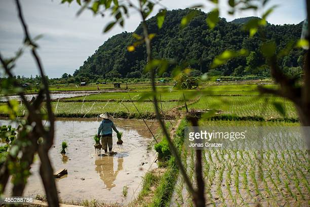 A woman working in rice fields of the village of Leupung Only 500 people out of around 10000 survived those who did however received new homes from a...
