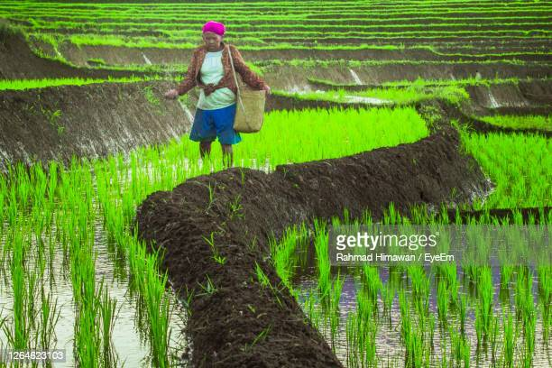 woman working in rice paddy - rahmad himawan stock pictures, royalty-free photos & images