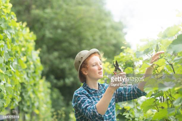 woman working in vineyard, baden-wurttemberg, germany - sigrid gombert stock pictures, royalty-free photos & images