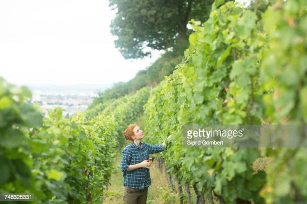 woman working in vineyard, baden-wurttemberg, germany - sigrid gombert stock-fotos und bilder