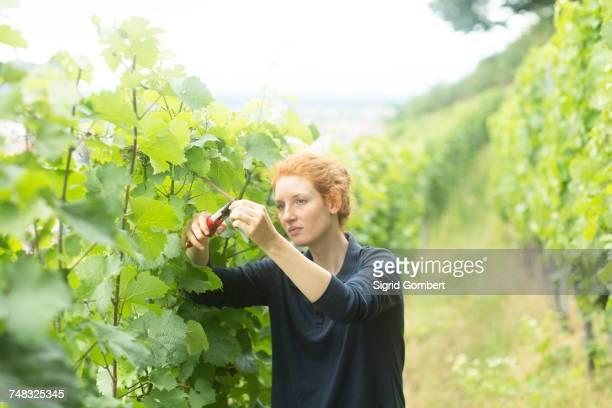 woman working in vineyard, baden-wurttemberg, germany - sigrid gombert fotografías e imágenes de stock