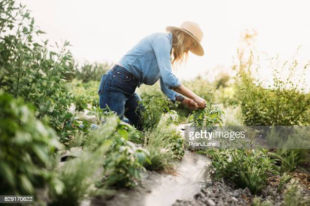 woman working on farm - herbs stock photos and pictures