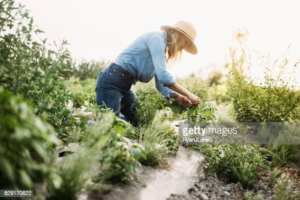 woman working on farm - erbe aromatiche foto e immagini stock