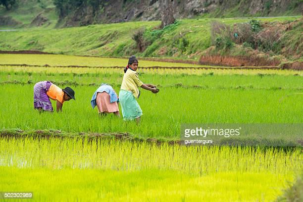 女性のライスフィールドにマダガスカル
