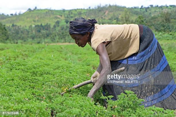 A woman works in a field of geranium plants in Gahara in the Southeast of Rwanda on April 28 2017 Last year Rwanda exported around 14 tonnes of...
