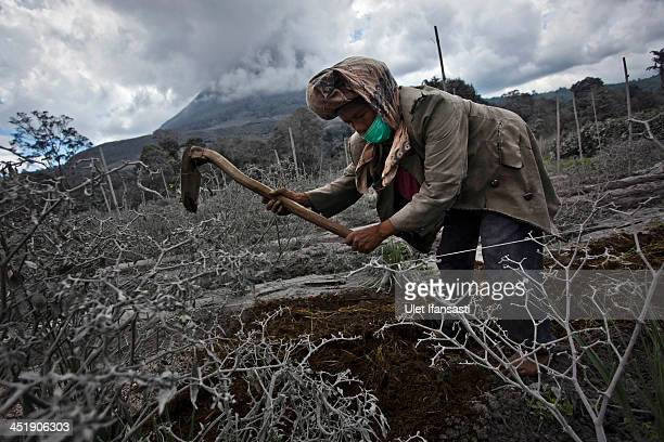A woman works in her field which has been covered by ash from eruption of mount Sinabung in Sigarang Garang village on November 25 2013 in Karo...