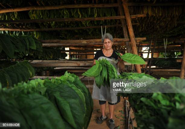 A woman works in the drying barn of a tobacco plantation in San Juan y Martinez Pinar del Rio Province Cuba on February 24 2018 Cuba will hold the...