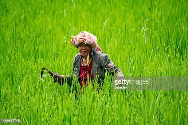 Woman Works on Rice Paddy Field, Tana Toraja, Sulawesi,  Indonesia