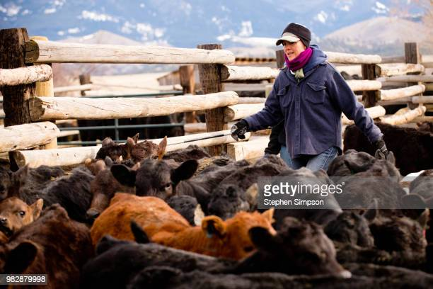 woman works with cattle on montana ranch - ranch stock pictures, royalty-free photos & images
